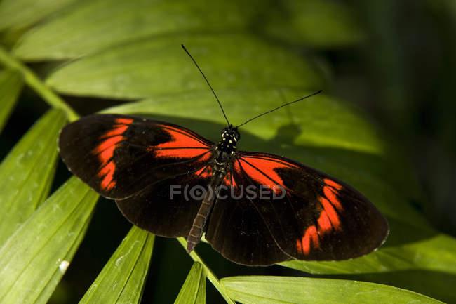 Postbote Schmetterling auf Anlage — Stockfoto