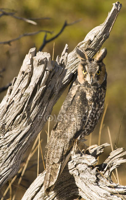 Long-eared Owl perching on dead tree (Asio otus), Sierra Foothills, California — Stock Photo