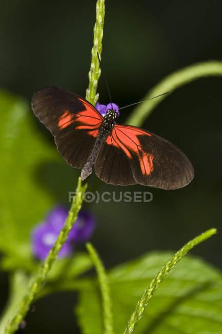 Nahaufnahme der Postbote Schmetterling (Heliconius Melpomene) auf Blume am Nigara Butterfly Conservatory in Niagara Falls, Ontario, Kanada — Stockfoto