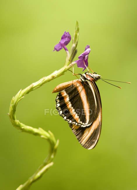 Banded Tiger Schmetterling (Dryadula Phaetusa) auf verdrehte Pflanze, Costa Rica — Stockfoto