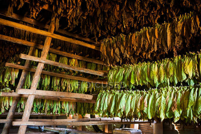 Feuilles sèche de tabac à l'intérieur de la Grange au toit de chaume dans la vallée de Viales à Cuba — Photo de stock