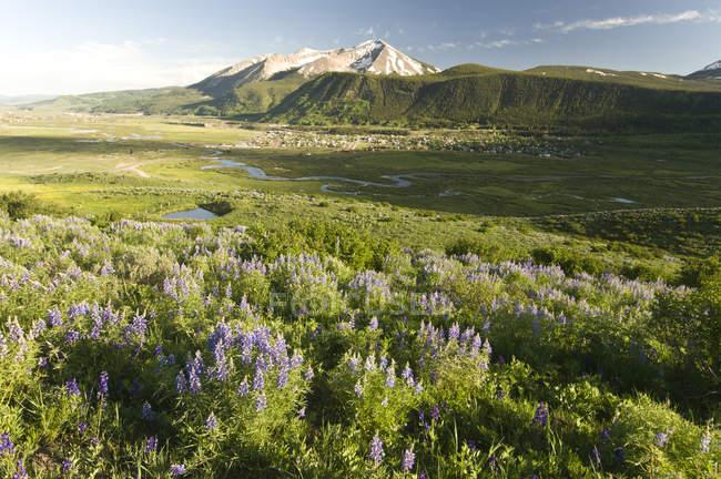 Lupin de fleurs le long du sentier de boucle de lupin avec la ville de Crested Butte, Whetstone Mountain et la rivière de l'ardoise dans le fond, Colorado — Photo de stock