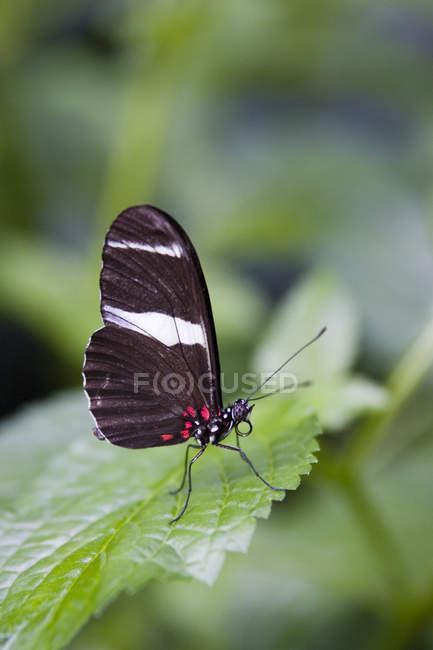 Doris Schmetterling (Heliconius Doris), Schmetterlingshaus Niagara, Niagara Falls, Ontario, Kanada — Stockfoto