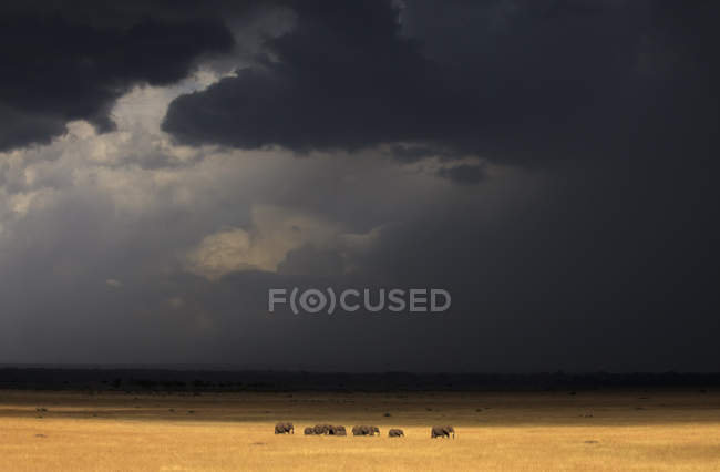 Herd of elephants walking in light just before a heavy rainstorm in Kenya Masai Mara National Reserve — Stock Photo