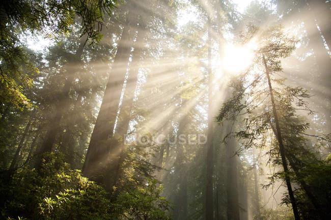 Strahlen des Sonnenlichts platzen durch Baumkronen des Redwood Forest in Kalifornien — Stockfoto