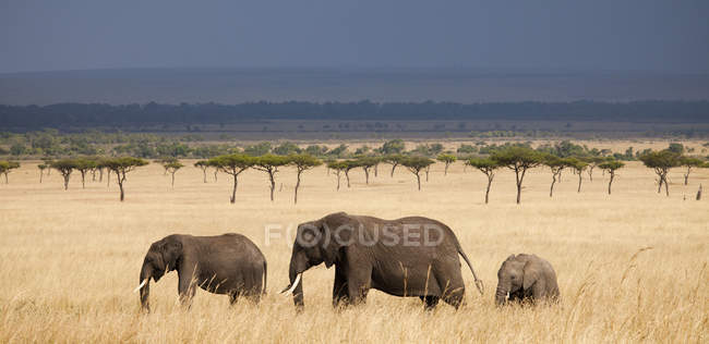 Three African Elephants walking through a strand of acacia trees with an impending rainstorm above in Kenya Masai Mara National Reserve — Stock Photo