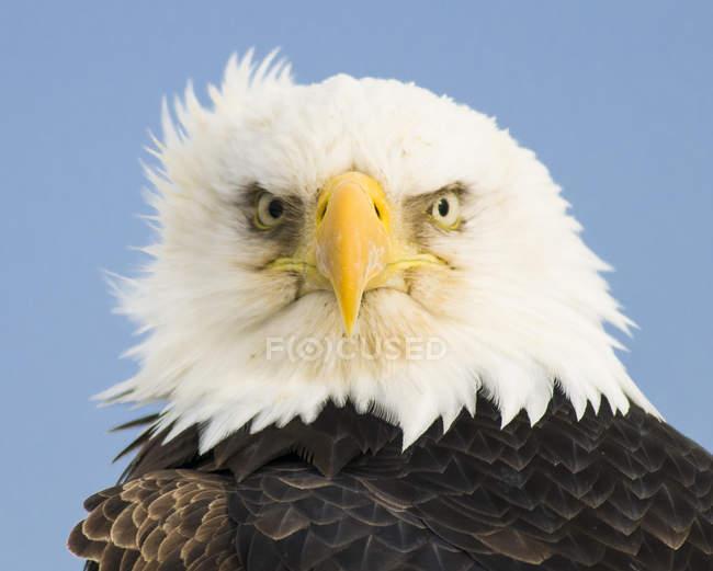 Cerrar vista de águila calva (Haliaeetus leucocephalus), Homer, Alaska - foto de stock