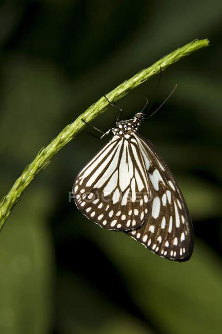 Nahaufnahme von Reispapier Schmetterling (Idee Leuconoe) am Stiel bei Nigara Butterfly Conservatory in Niagara Falls, Ontario, Kanada — Stockfoto