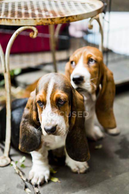 Два щенки Бассета, сидячи на вулиці — стокове фото