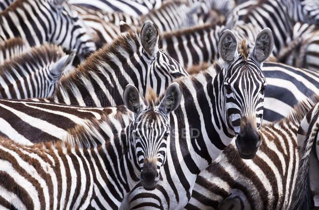 Два зебр виходять від великих стадо в Кенії Масаї Мара Національний заповідник — стокове фото