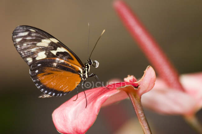 Tiger Longwing Schmetterling (Heliconius Aigeus), Schmetterlingshaus Niagara, Niagara Falls, Ontario, Kanada — Stockfoto