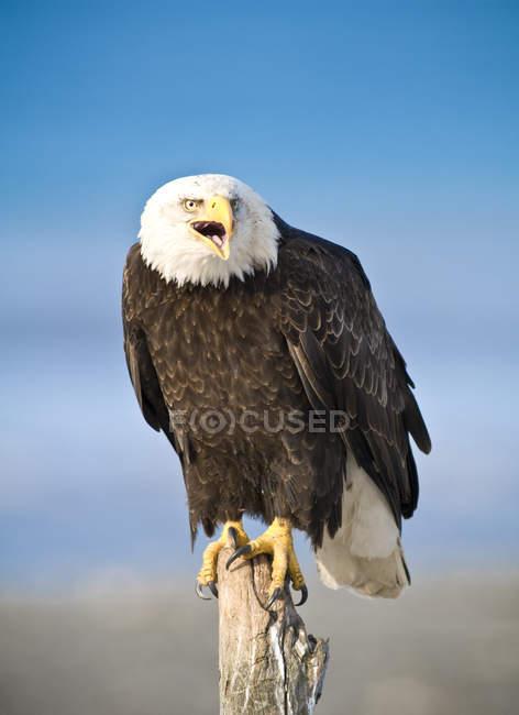 Águila calva encaramado en pega muerto (Haliaeetus leucocephalus), Homer, Alaska - foto de stock