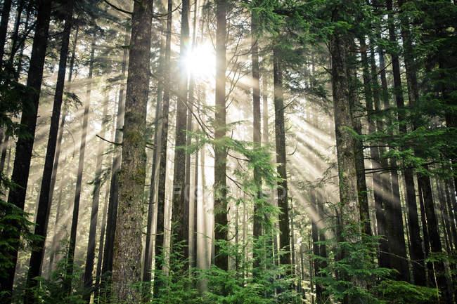 Fasci di luce del sole brillano attraverso una fitta foresta nella British Columbia, Canada — Foto stock