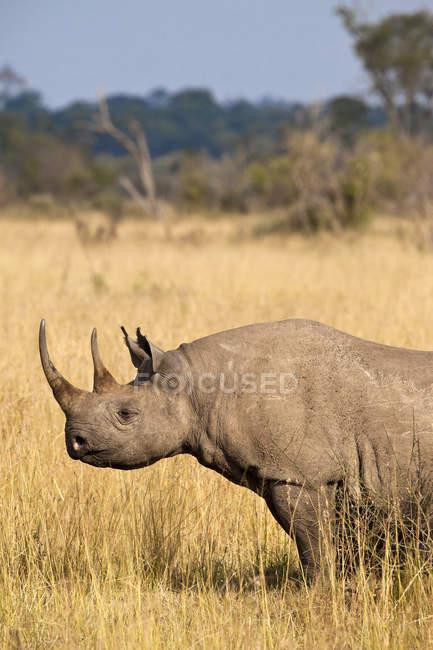 Rare Black Rhino in Kenya Masai Mara National Reserve — Stock Photo
