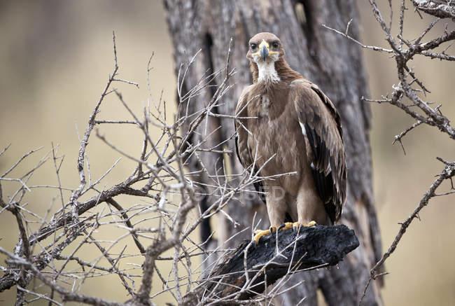 Aquila rapace su un ramo morto in Kenya Masai Mara National Reserve — Foto stock