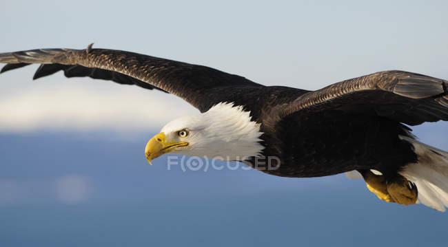 Cerrar vista de águila calva en vuelo (Haliaeetus leucocephalus), Homer, Alaska - foto de stock