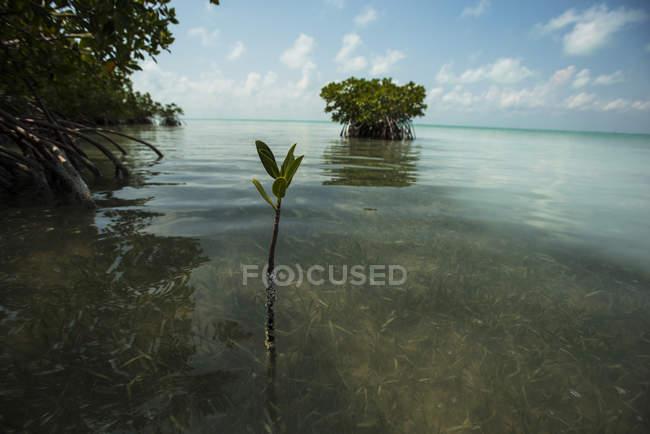 Winzigen Mangroven schießen sprießen in warmen Gewässern der Florida Bay — Stockfoto