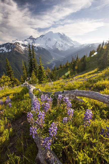 Purple Lupin (Lupinus perennis) grow across valley from Mount Ranier, Washington , USA — Stock Photo