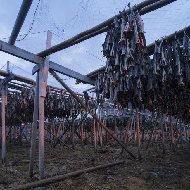 Kabeljau Stockfisch hängen zum Trocknen in der kalten Winterluft, toppya, reine, lofoten Inseln, Norwegen — Stockfoto