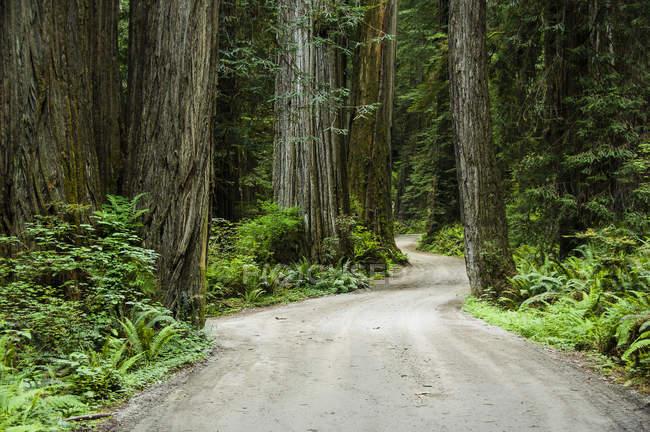 Howland Hill Road si snoda attraverso secolari alberi, Jedediah Smith Redwoods State Park, Parco nazionale di Redwood, California — Foto stock