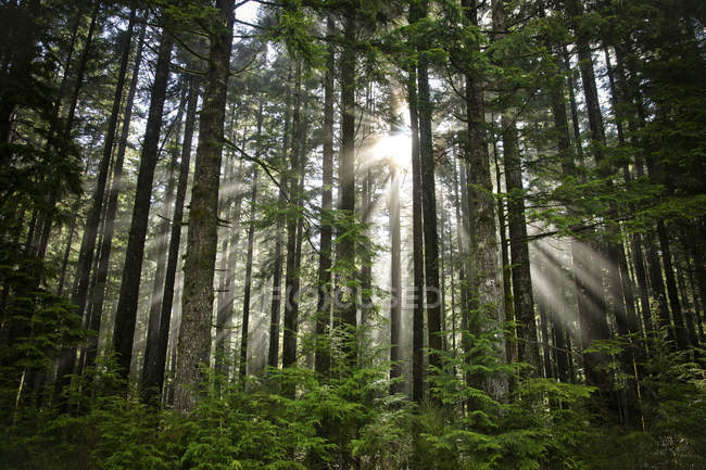 Sonne Strahlen durch eine Öffnung in den Baumkronen in der Nähe von Vancouver — Stockfoto