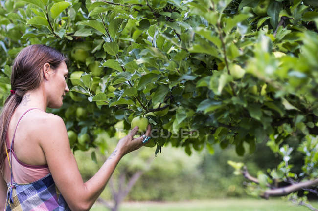 Woman picking fresh green apple from orchard — Stock Photo