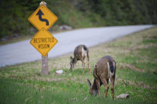 Cerf à queue noire (Odocoileus hemionus columbianus) broutage par le bord de la route à côté de «Vision Restrited» signer — Photo de stock