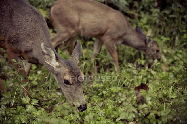 Due cervi con coda nera (Odocoileus hemionus columbianus) foraggio per il cibo nella foresta — Foto stock