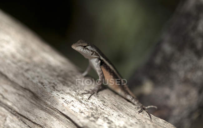 Крупним планом видом на невеликий ящірка загоряти майя місто Коба півострова Юкатан, Мексика — стокове фото