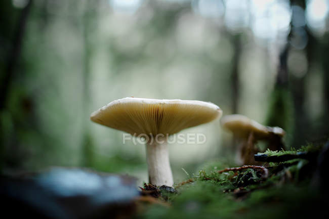 Gill Mushroom grows under the forest canopy — Stock Photo