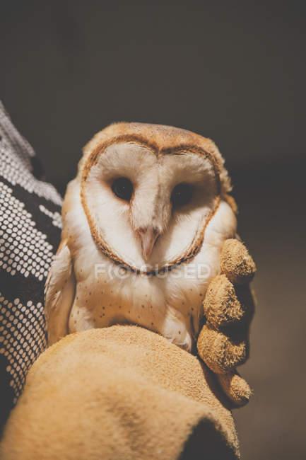 Colpo del primo piano del ricercatore che tiene il Barbagianni (Tyto alba) — Foto stock