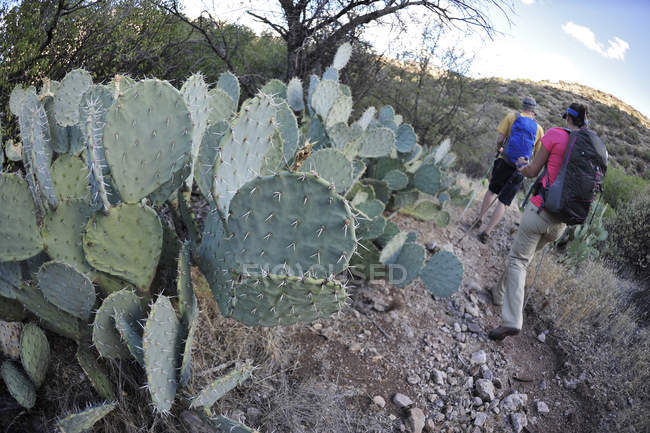 Man and woman backpackers hike next to prickly pear cactus on the Dutchmans Trail in the Superstition Wilderness Area, Tonto National Forest near Phoenix, Arizona November 2011.  The trail links up with the popular Peralta Trail and offers a spectacu — Stock Photo