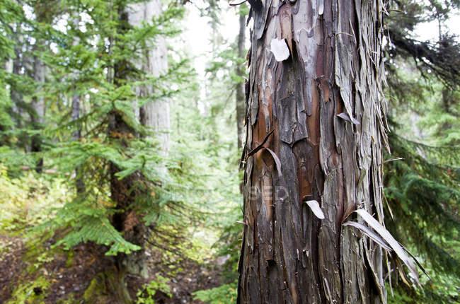 Bucce di corteccia al largo di un albero di cedro al lago Callaghan — Foto stock