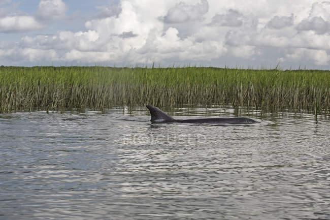 Delfino di naso di bottiglia nuotare in acque basse durante un'estrema alta marea, Charleston Sc — Foto stock
