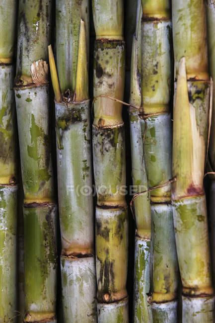 Close-up vista do fundo do corte de cana de açúcar — Fotografia de Stock