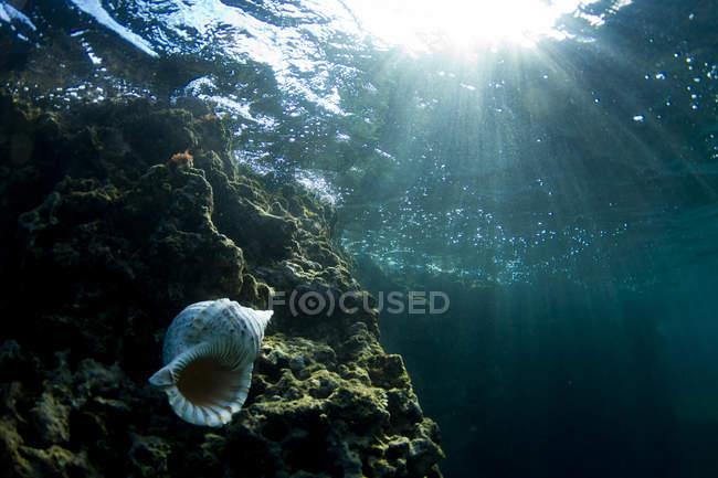 Vista subacquea delle coperture della conca sulla roccia — Foto stock