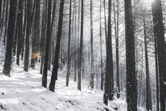 Winter scene with black pine forest and sun rays south-western Serbia — Stock Photo