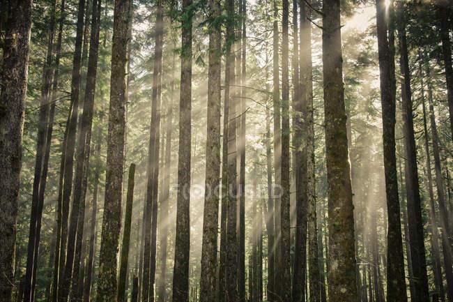 Morgen Sonnenlicht scheint durch einen Wald — Stockfoto