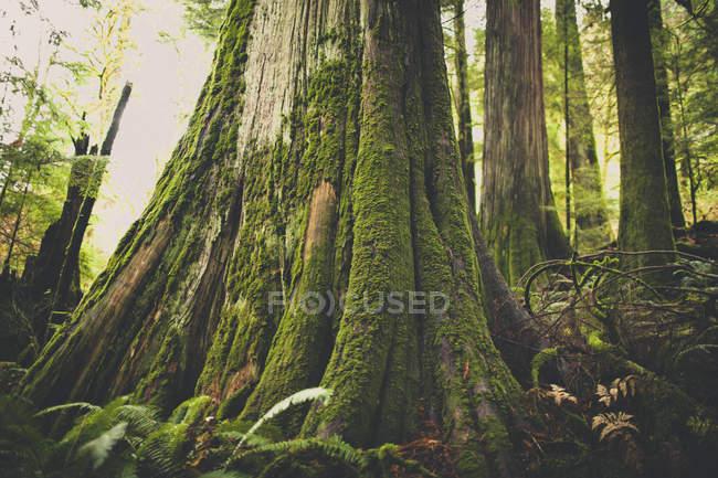 Foresta di vecchio sviluppo nella British Columbia, Canada. — Foto stock