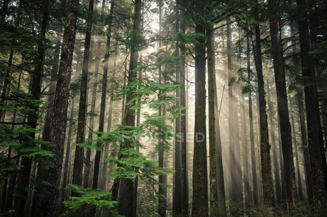 Sole travi brillano attraverso una sezione di seconda crescita foresta vicino a Vancouver — Foto stock