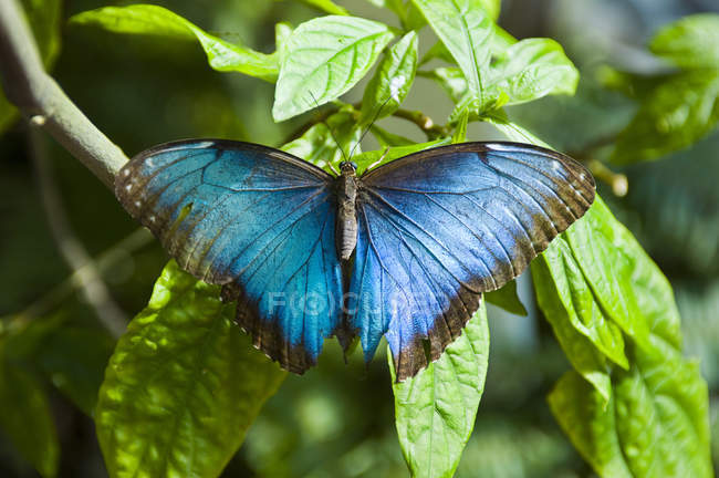 Nahaufnahme des blauen Morpho Schmetterling auf Key West Butterfly and Nature Conservatory in Key West, Florida — Stockfoto