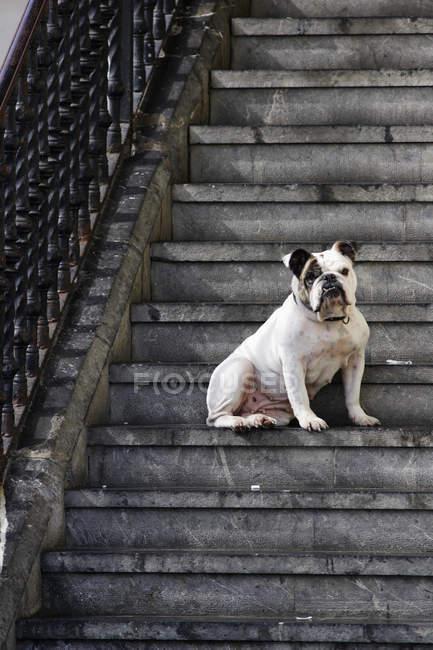 Bulldog sitzen auf Stufen in Mundaka, Spanien — Stockfoto
