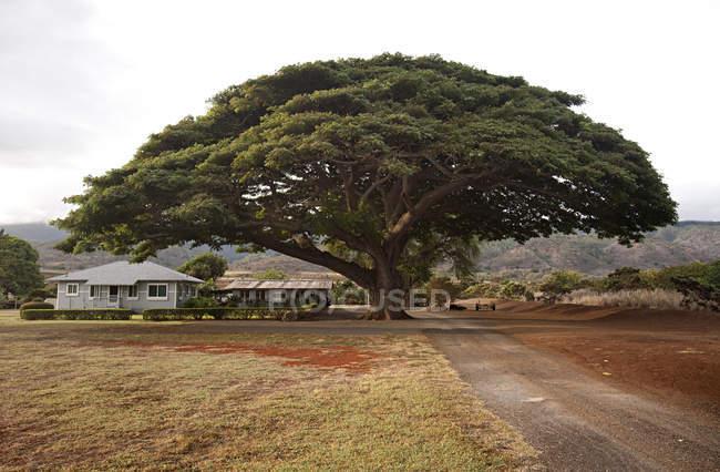 Fantastic tree shades a residential yard in Oahu, Hawaii — Stock Photo