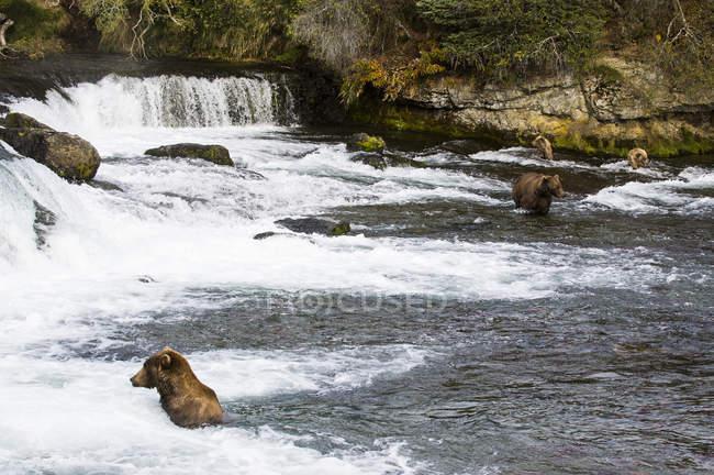 Ведмеді Грізлі в Брукс водоспаду в національному парку Katmai — стокове фото