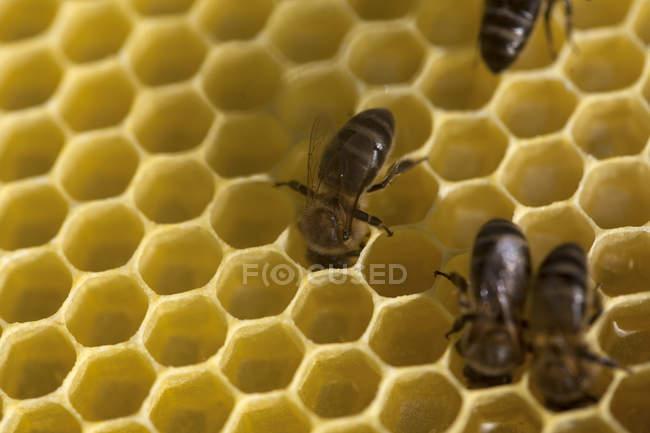 Gros plan tiré du miel d'abeilles travaillent dans la ruche — Photo de stock