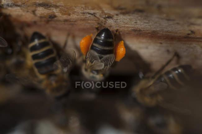 Abeille à miel transportant le pollen, le rucher des apiculteurs de Puremiel dans le parc de Los Alcornocales naturelles, province de Cadix, Andalousie, Espagne — Photo de stock