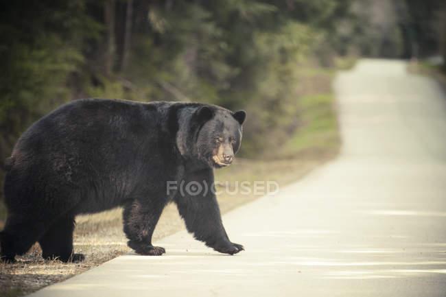 Grande orso nero attraversa una strada asfaltata, circondata da una foresta — Foto stock