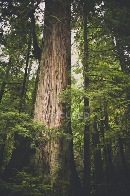 Солнечный свет освещает большие кедра в умеренных тропических лесов, Британская Колумбия, Канада — стоковое фото