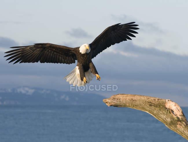 Aigle à tête blanche (Haliaeetus leucocephalus) atterrissage sur arbre mort, Homer, Alaska — Photo de stock