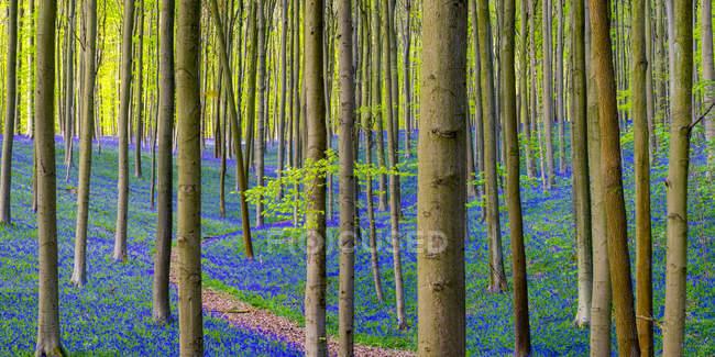 Árvores e as flores crescendo na floresta de Hallerbos — Fotografia de Stock